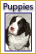 English Springer Spaniel Puppies Available